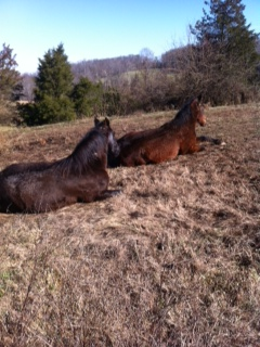 vcca-horses